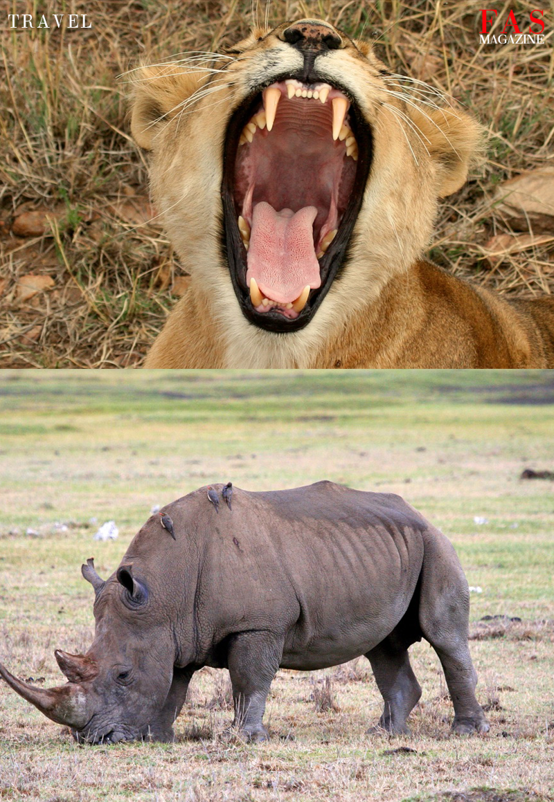 A lion yawning and a rhinoceros eating in Tanzania national parks. Photographer Moiz Husein.